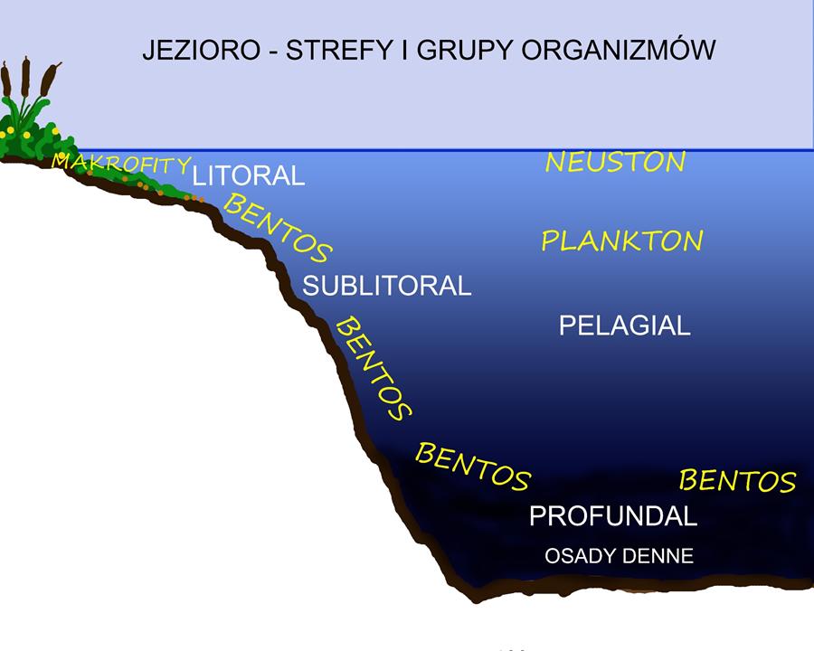 Ryc. 1. Jezioro - podział na strefy oraz główne grupy funkcjonalne organizmów wodnych.